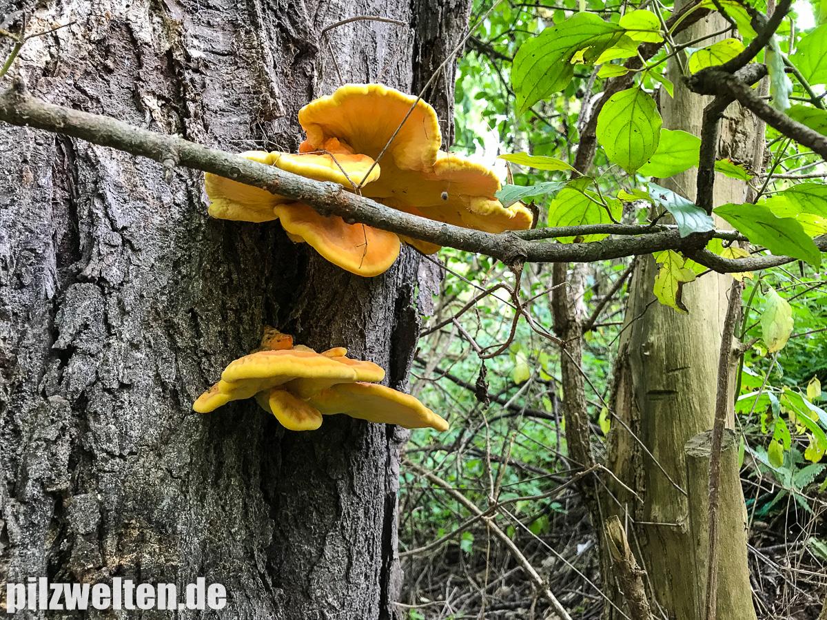 Schwefelporling, Laubholzschwefelporling, Eierporling, Chicken of the Woods, Laetiporus Sulphureus