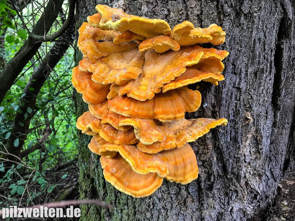 [Bild: schwefelporling-laetiporus-sulphureus-8....1504621868]