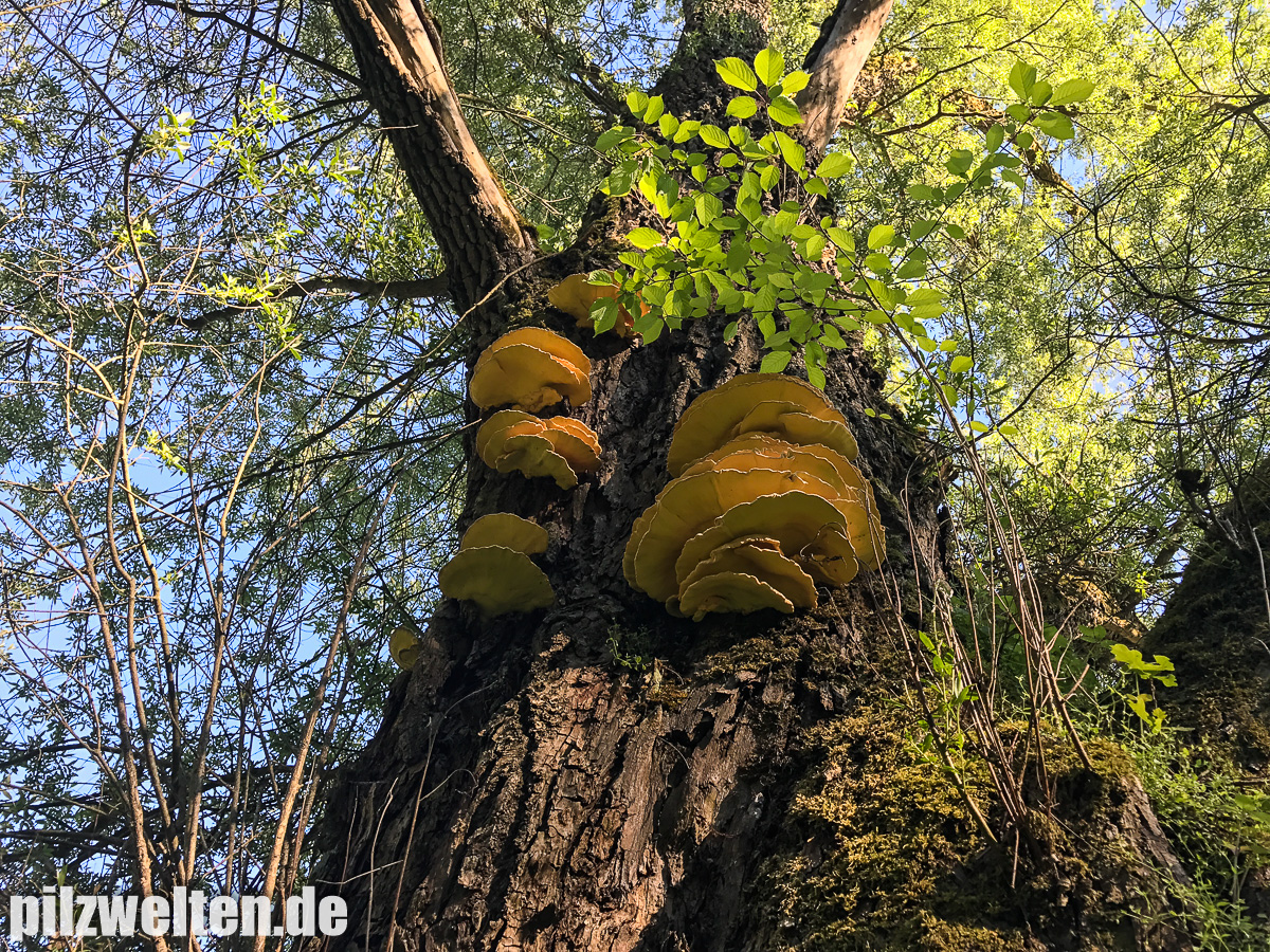 Pilze, Schwammerl, Schwammal, Bilder, Berichte, Bestimmungen, Verwechslungen