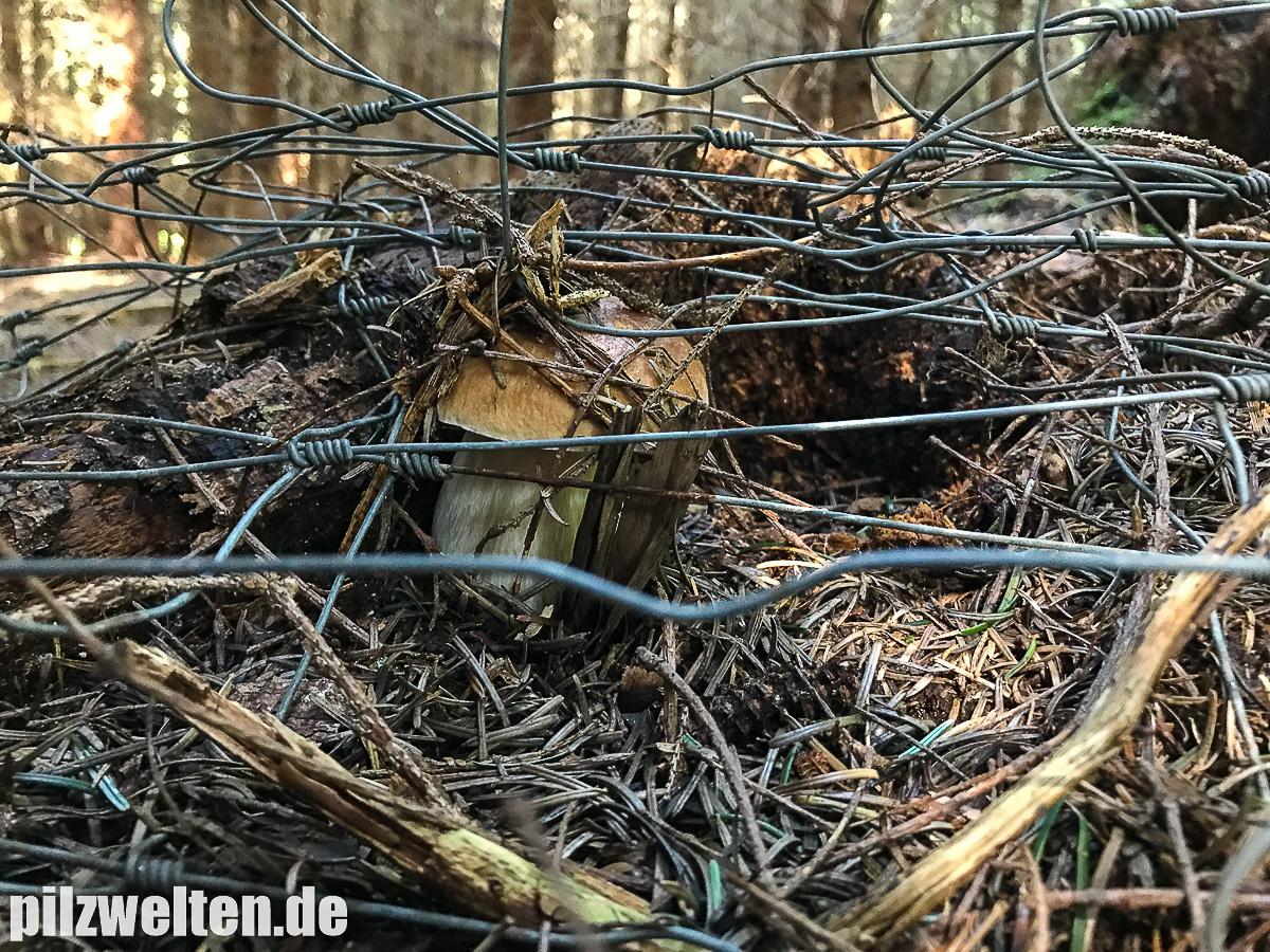 [Bild: fichtensteinpilz-boletus-edulis-51.jpg?m=1514198397]