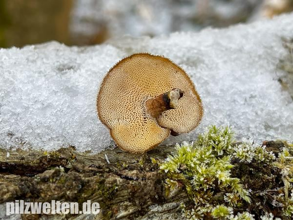 Winter-Stielporling, Lentinus brumalis